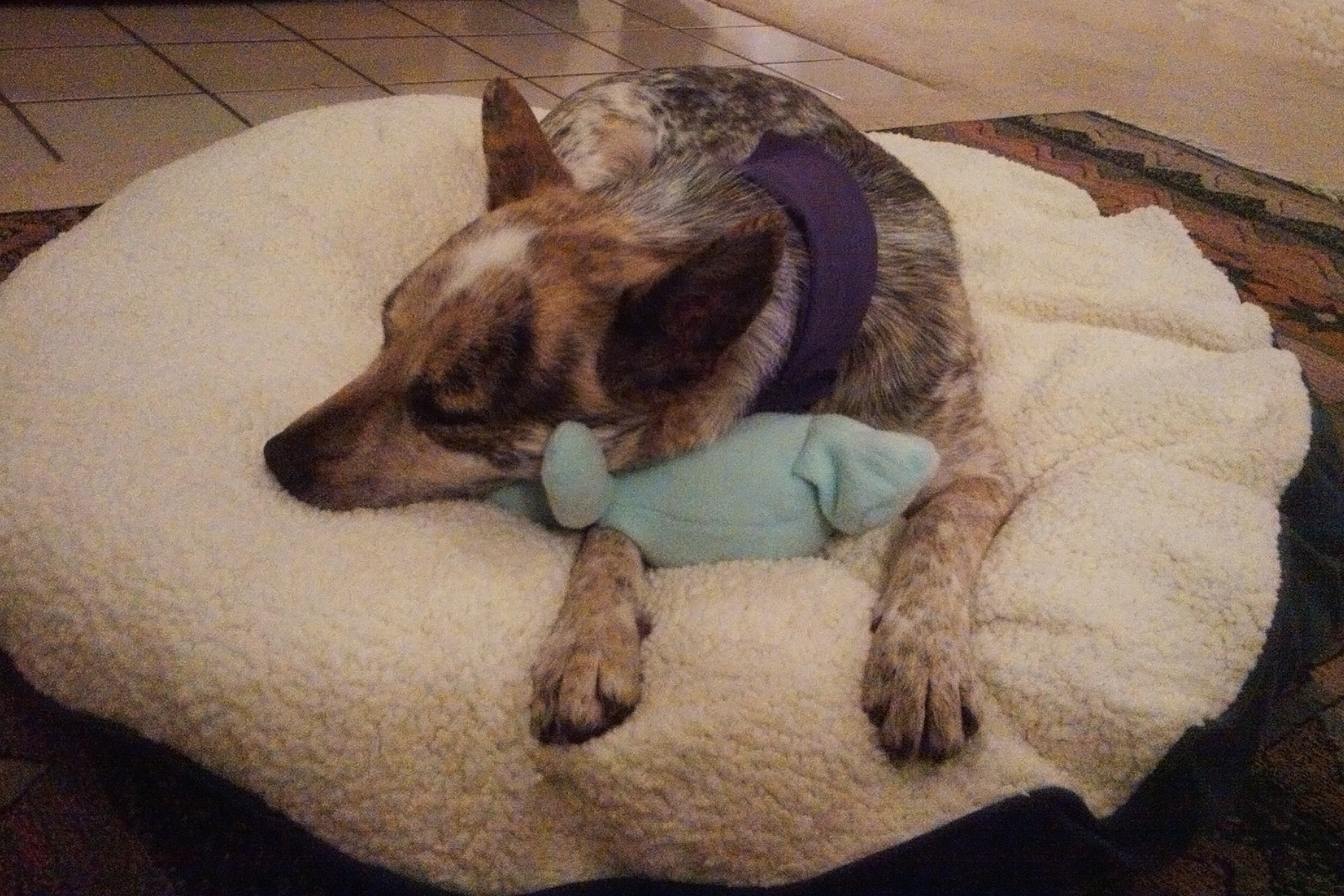 cattle dog, blue heeler, rescue dog