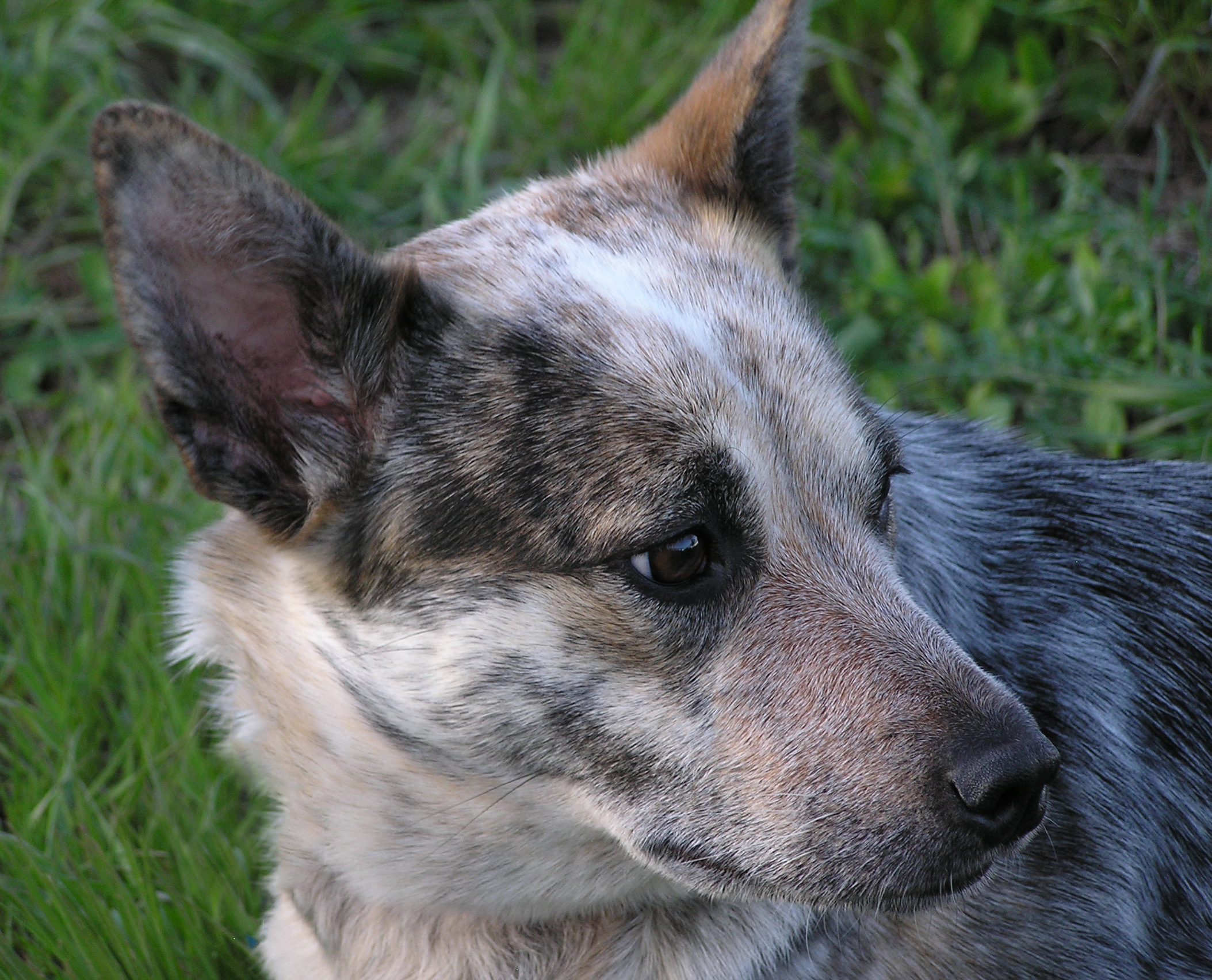 cattle dog, australian cattle dog, blue heeler