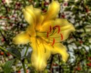 Luscious Lavish Lily (HDR Three Exposures -2EV, 0, +2EV)