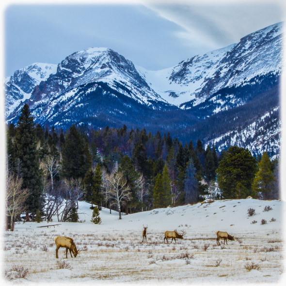 Elk Encounter in Rocky Mountain National Park Enhanced in Lightroom 5 Alone