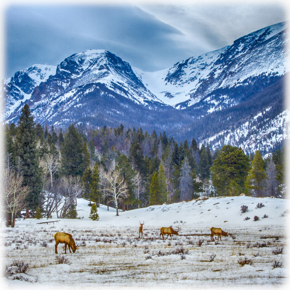 Elk Encounter in Rocky Mountain National Park HDR Effects Pro