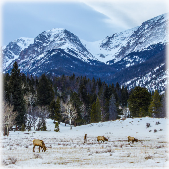 Elk Encounter in Rocky Mountain National Park Highlight Recovery in Lightroom 5 Only