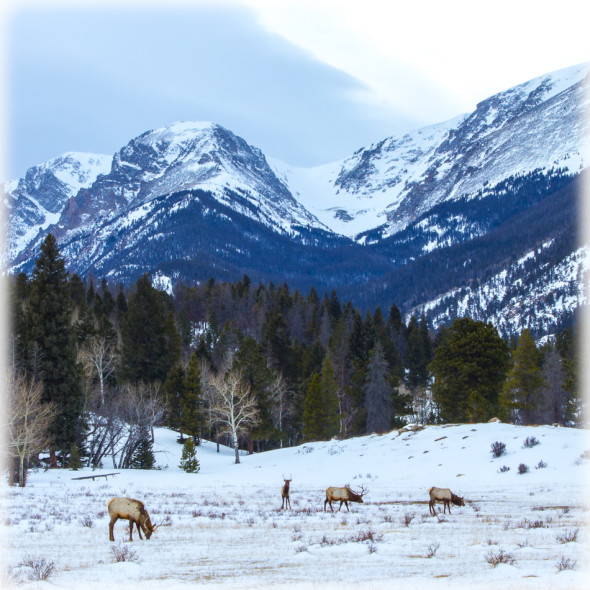 Elk Encounter in Rocky Mountain National Park Original