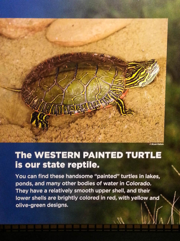 Western Painted Turtle Colorado State Reptile